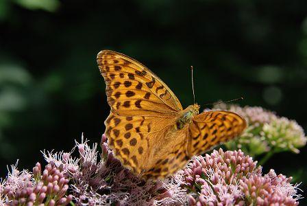 Popis obrázku - motýl